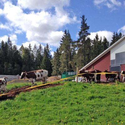 Lehmän luulisi olevan iloinen, kun pääsee laitumelle. Nämä lehmät pääsivät ulos ruskolaisesta navetasta lauantaina.