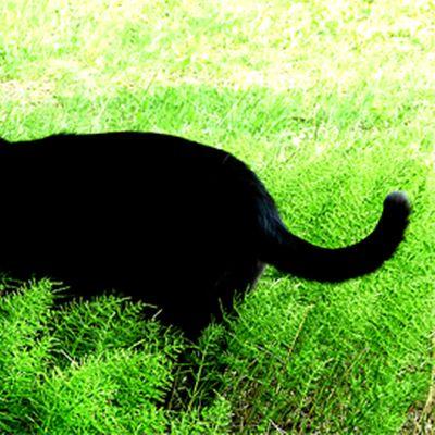 Saalistava musta kissa