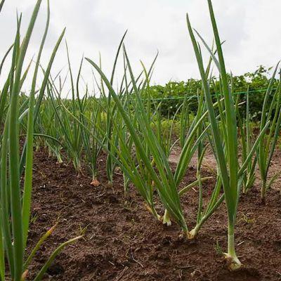Sipuleita kasvaa viljelypalstalla.