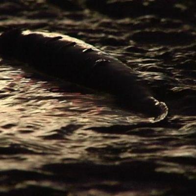 Tällä nousupurolla kalojen pitää mennä tierummun läpi päästäkseen kutulammelle. Mammahauki lepää vähän.
