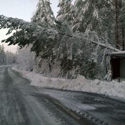 Lumen painama puu kaatumassa Ruotsalossa tielle 5.11.2014 lumimyräkän jälkeen.
