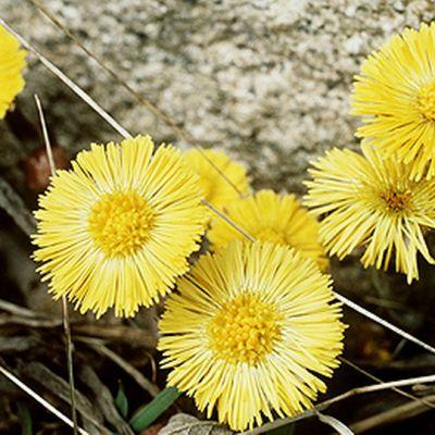 Leskenlehden keltaisia kukintoja.