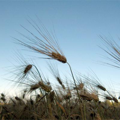 Ohra kasvaa pellossa.