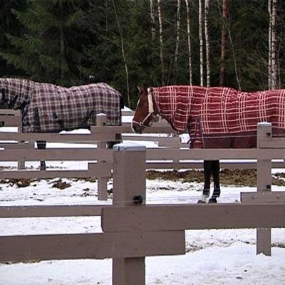 Hevosia aitauksessa.