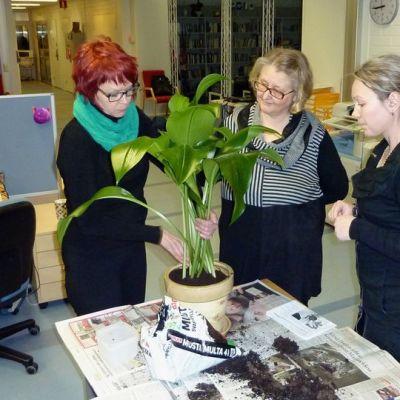 Kukkakauppias Tiina Latvasalo ja toimittajat Päivi Rautanen sekä Pauliina Jaakkola vaihtamassa multaa Päivin amazoninliljaan.