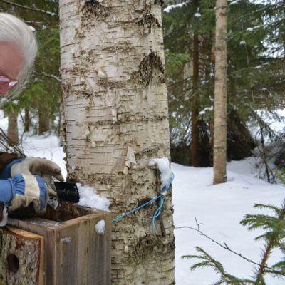 Biologi Vesa Hyyryläinen kurkistaa varpuspöllön pönttöön paltamolaisessa metsikössä.