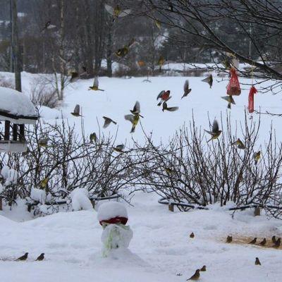 Kuvassa lintulauta lumisella pihalla ja palljon pikkulintuja
