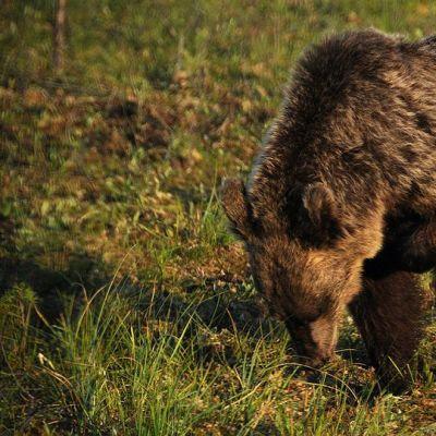 Karhu nuuskii maata.