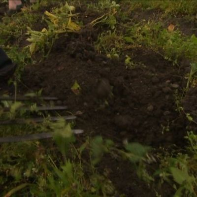 Perunannosto ja muut puutarhatyöt kuuluvat kuntoututtavaan työtoimintaan Kaarinan Nappi&Plätty -toimintakeskuksessa