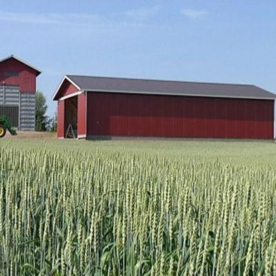 Vehnäpelto maatilan pihapiirissä.