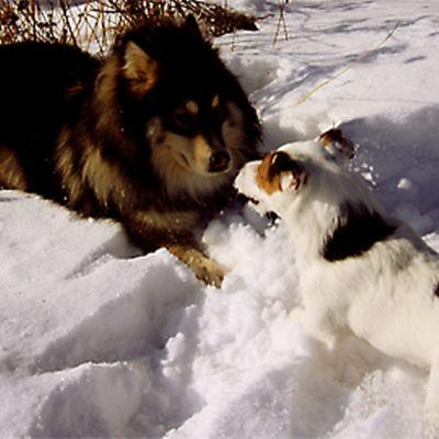Kaksi koiraa leikkimässä lumihangessa