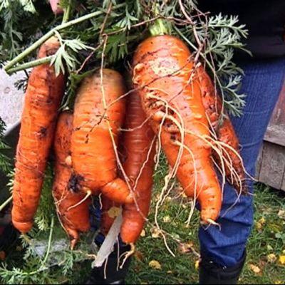 Porkkananippu viljelijän kädessä
