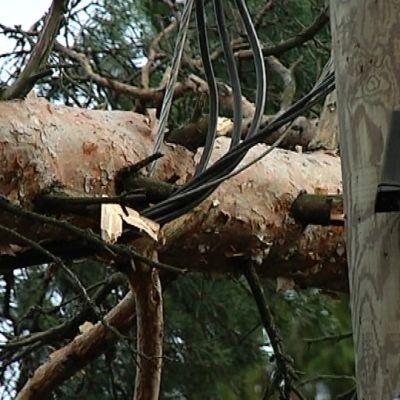 Puu sähkölinjoilla