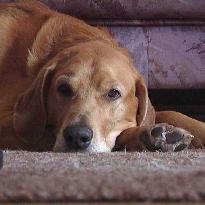 Koira makaa lattialla