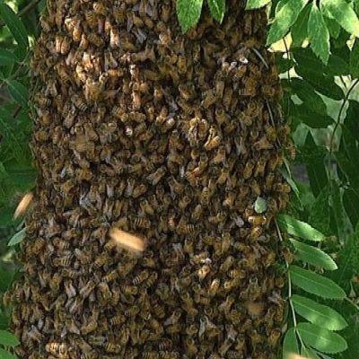 Mehiläisparvi.