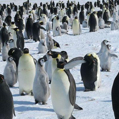 Paljon pingviinejä jäällä.