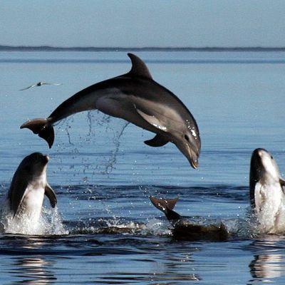 Harvinaiseen pullonokkadelfiinin alalajiin kuuluvat delfiinit hyppivät vedessä.