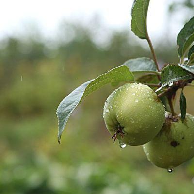 Omenapuu ja omena.