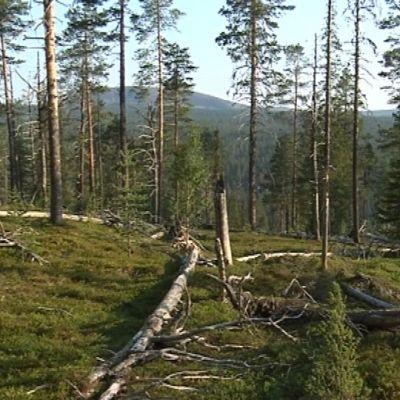 Vongoiva tunturi ja vanhaa metsää Urho Kekkosen kansallispuistossa 6.8.2014