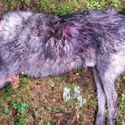 Rami Hietaniemen kuollut koira