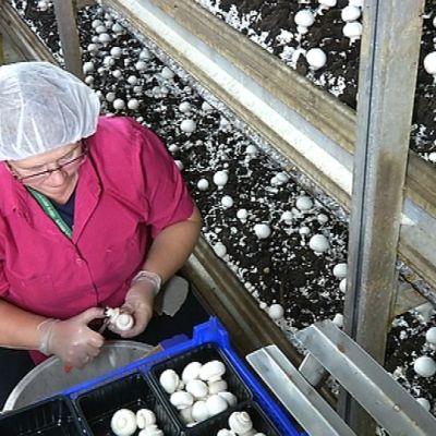 Kotimaiset teolliset sienet poimitaan käsin