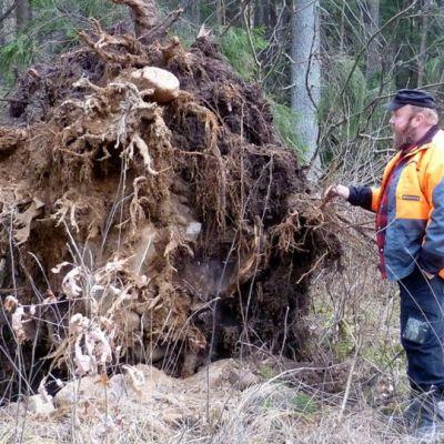 Kaatuneen kuusen juuristoa tutkii Markku Huostila