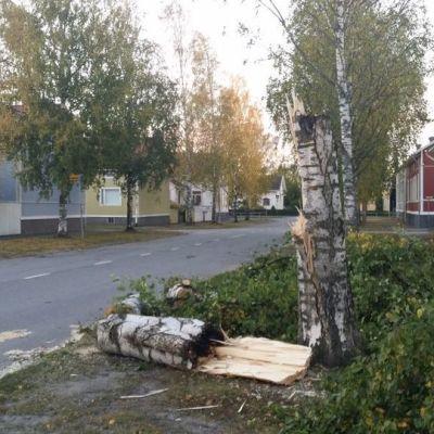 Kaatunut puu Porissa