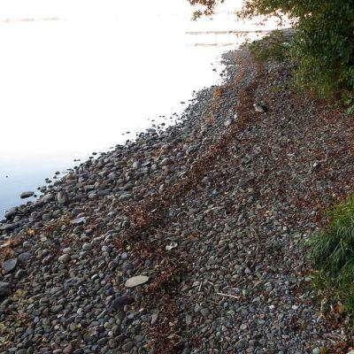 Kivikkoinen Pyhäjärven ranta, kun vesi järvessä on laskenut