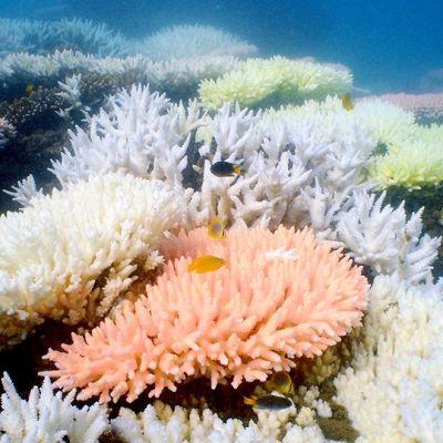Koralli valliriutalla Australian Queenslandissa.