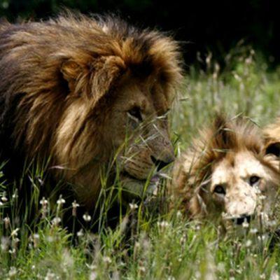Leijonia heinikossa Etelä-Afrikassa.