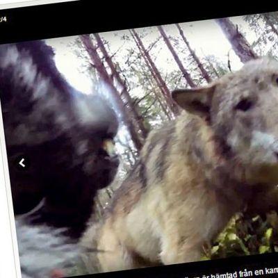 Kuvakaappaus Svensk Jakt -lehden jutusta, jossa kerrotaan susien hyökkäyksetä koiran kimppuun.