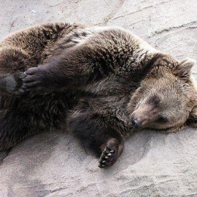 Jemma-karhu Ranuan eläinpuistossa.