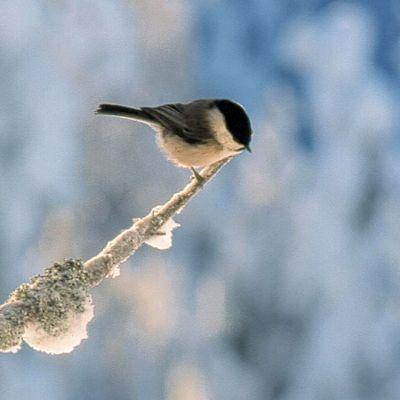 Hömötiainen istuu puun oksalla lumisessa maisemassa.