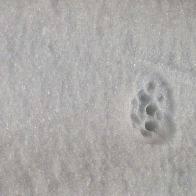 Ilveksen tassun jäljet lumessa.