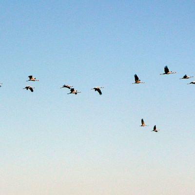 Isokokoiset kurjet ovat suurena parvena lentäessään vaikuttavan näköisiä.