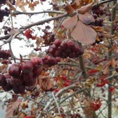 Jäisiä pihlajanmarjoja puussa.