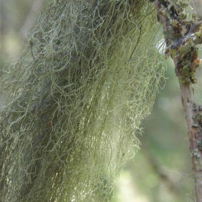 Harjun metsän naava kertoo loppilaisen ilmalaadun parantuneen viime vuosikymmeninä.
