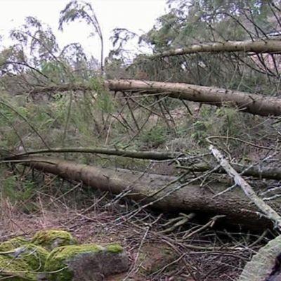 Eino-myrskyn kaatamia puita.