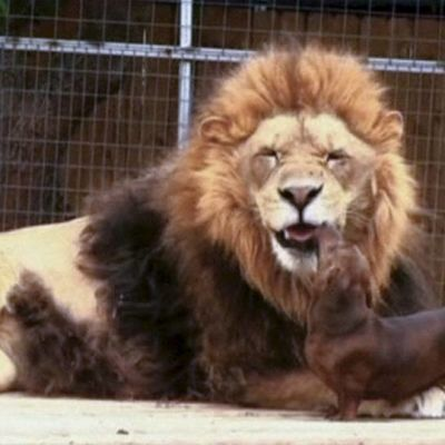 Leijona ja mäyräkoira