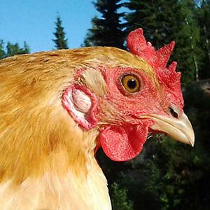Kana nimeltä Reetta