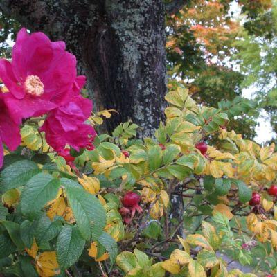 Kurtturuusu kukkii puistossa.