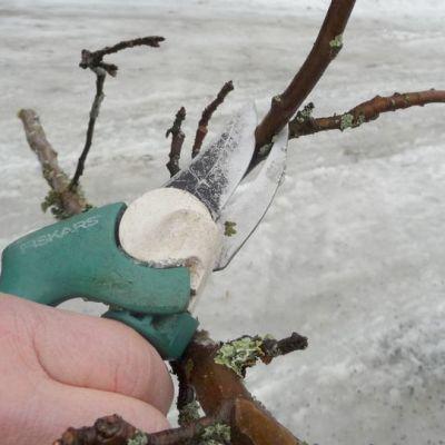 Oikeaoppinen omenapuun leikkauskulma.