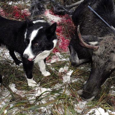 Koira ammutun hirven vieressä