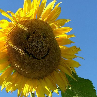Hymyilevä auringonkukka.