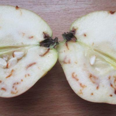 Pihlajanmarjakoin toukkia omenassa