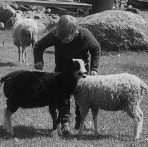 Poika silittää lampaita vuonna 1964