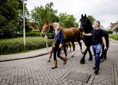 Två personer går med två hästar på en gata i Nederländerna för att rädda dem från översvämningarna.