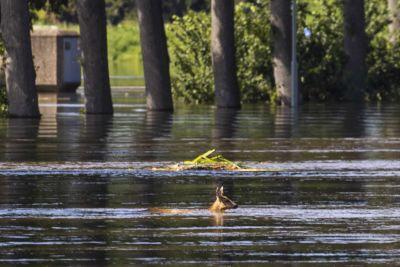 Ett rådjur simmar genom översvämningarna i Bergen, Nederländerna.
