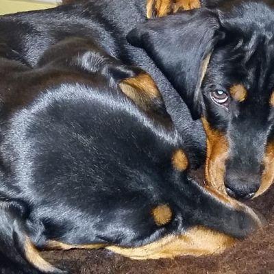 koirat, lyhytykarvaisia mäyräkoiria