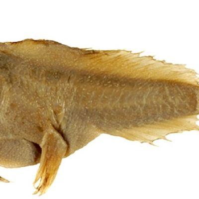 Kullanruskea kala, jolla on pitkät etuevät.